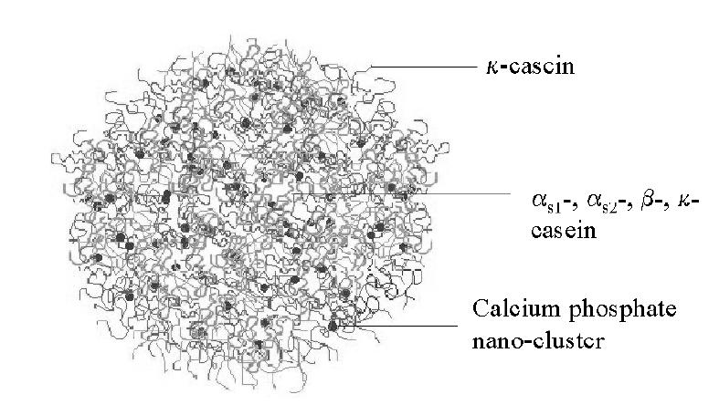 Characterization of casein hydrolysates derived from enzymatic hydrolysis