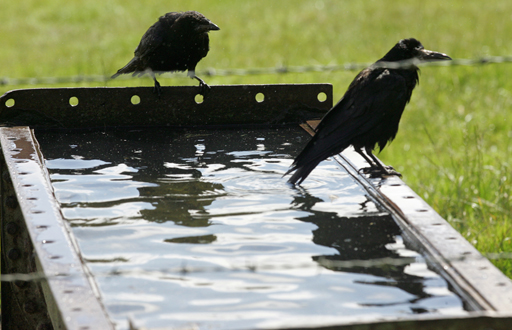 Crows perched on drinking trough