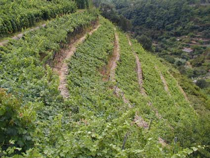 Commercial grape production